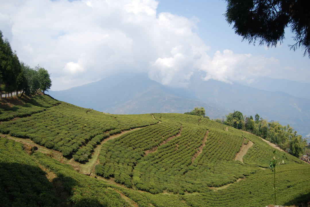 tea garden in gangtok